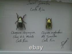 Chrysina Resplendens & Chrysargirea, Set In A Fine 8 Inch Shadow Box